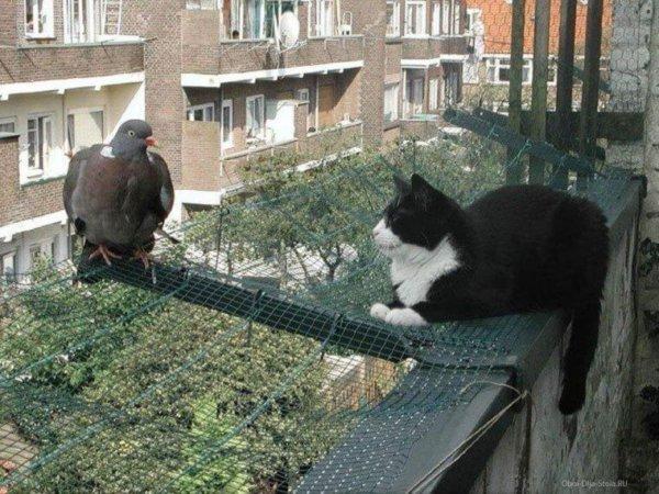 картинка кот отпугивает голубей