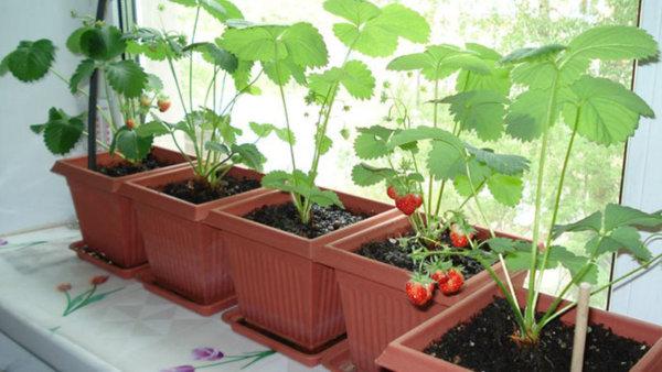 картинеп выращивание клубники на подоконнике из рассады