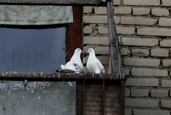 картинка голуби на балконе