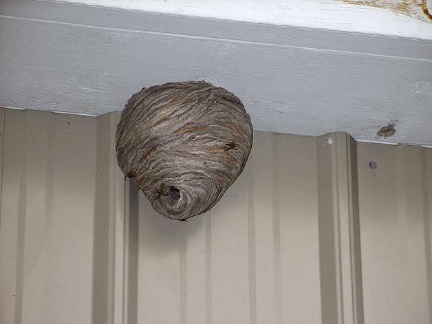 картинка гнездо осы