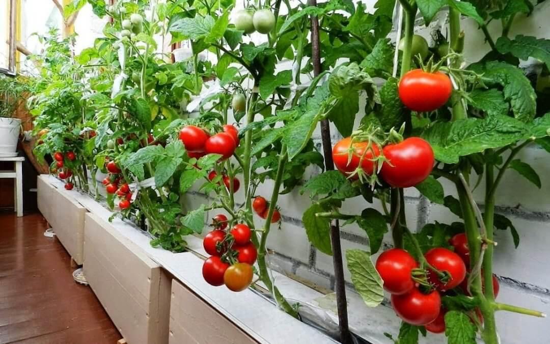 Советы по выращиванию помидор на балконе