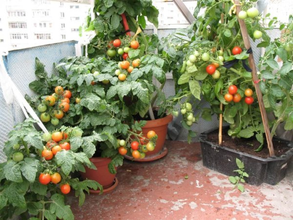 картинка помидоры на балконе