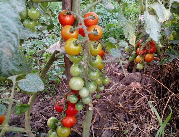 картинка томаты в теплице