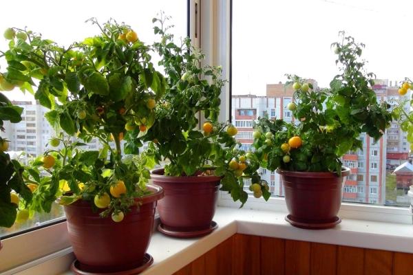 картинка томаты на балконе
