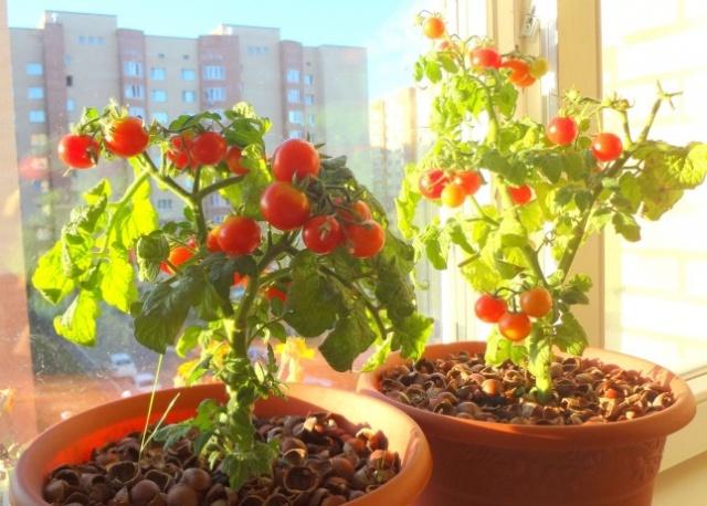 картинка томаты и солнечный свет