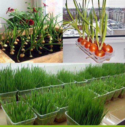 картинка выращивание зеленого лука на балконе