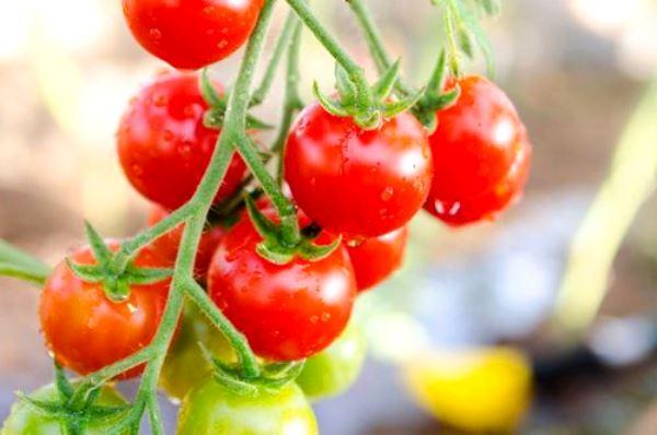 картинка сорт томата «Балконное чудо»