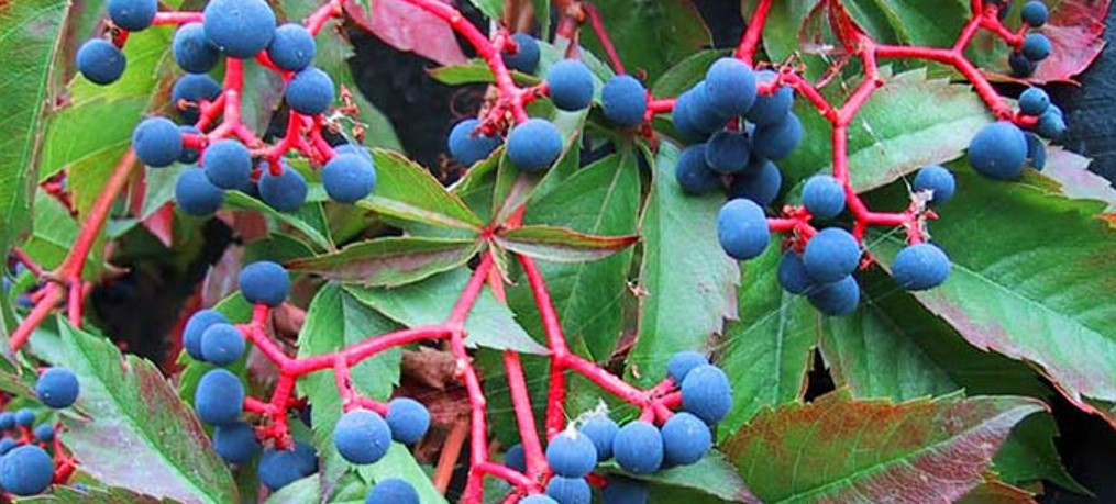 картинка виноград на балконе