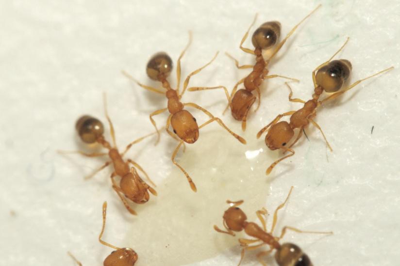 картинка рыжие муравьи