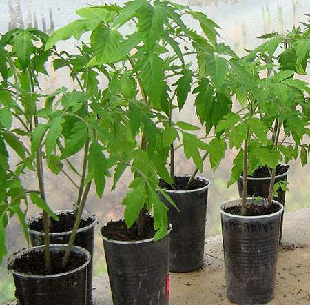 картинка рассада томатов