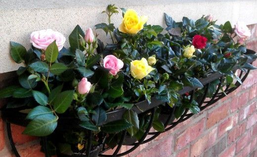 картинка роза на балконе