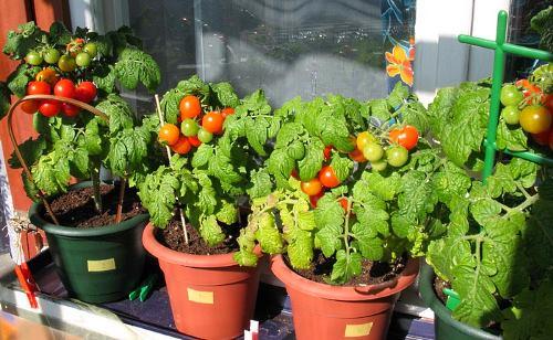 Как вырастить на балконе огурцы и помидоры