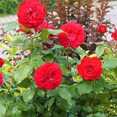 картинка роза Rouge Meilove