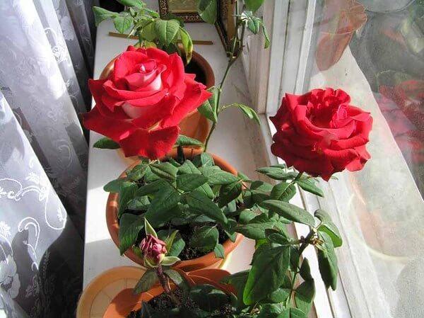 картинка розы в горшках
