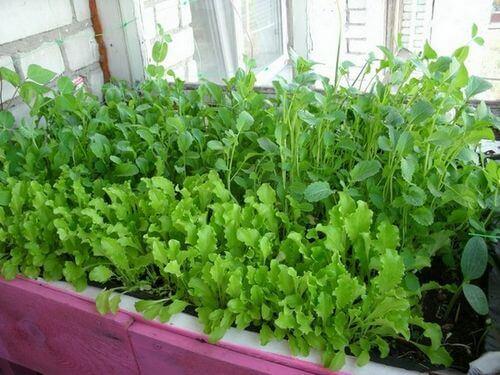 картинка салат на балконе