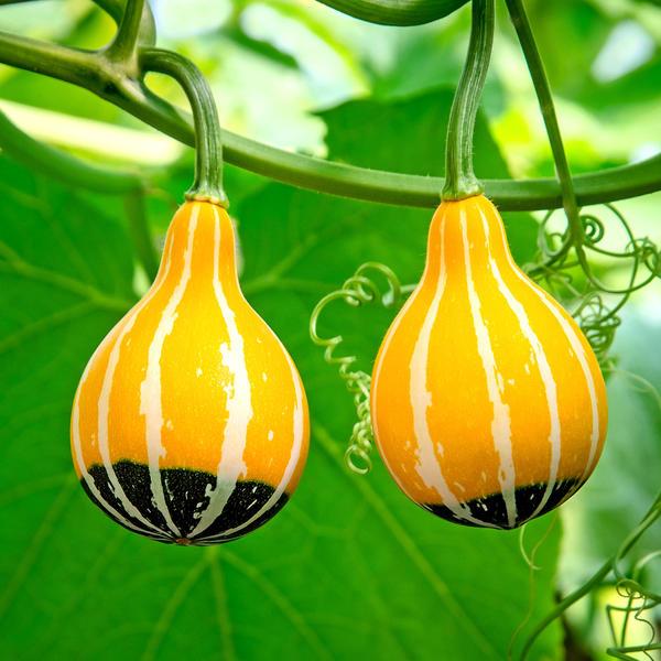 картинка декоративная тыква