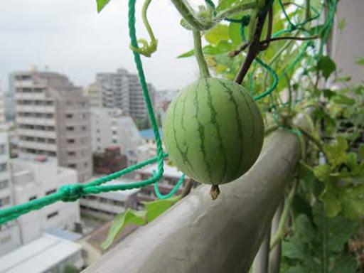 картинка арбуз на открытом балконе