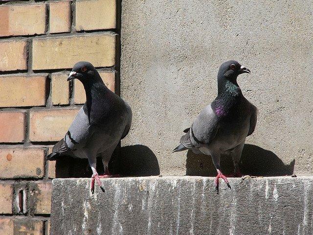 Как избавиться от голубей на подоконнике